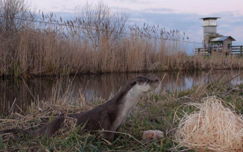 Gewonde otter gered en terug de natuur in