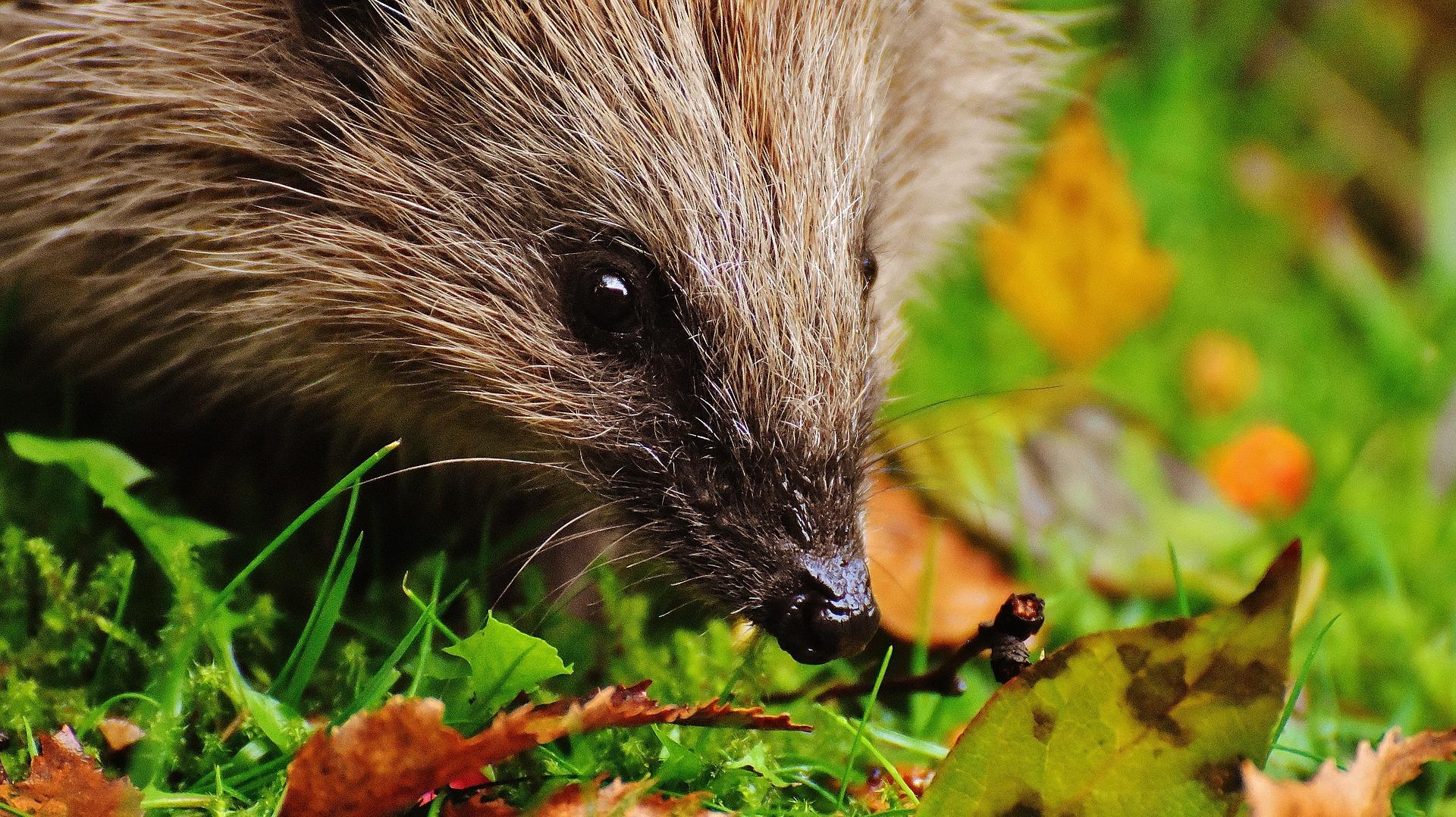 Help egels op gewicht te komen voor hun winterslaap
