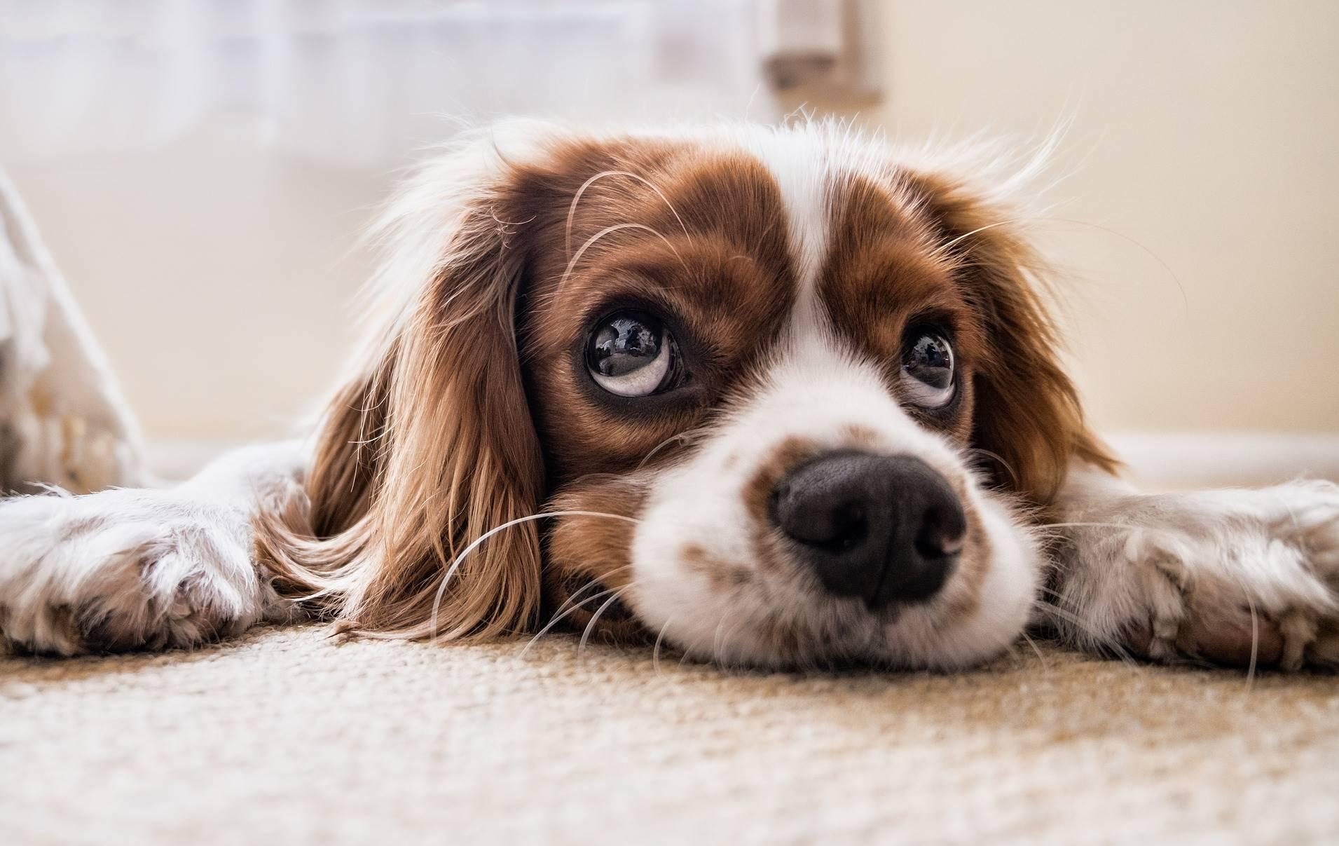 Honden en katten worden vaker ingezet als proefdier